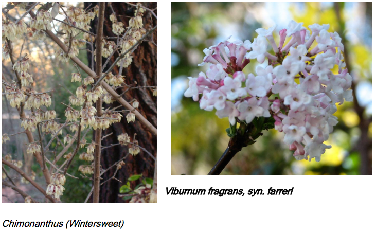 Chimonanthus (Wintersweet) AND Viburnum fragrans, syn. farreri
