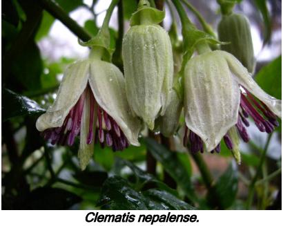 Clematis nepalense.