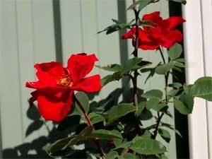 Climbing rose Altissimo
