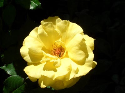 Cluster flowered rose Friesia