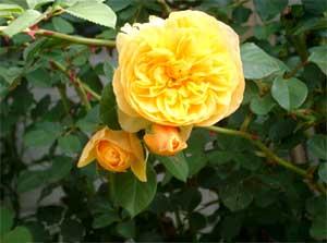 English rose Graham Thomas