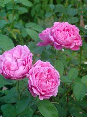 English rose, Mary Rose