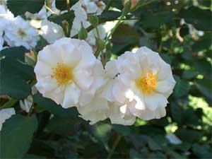 Hybrid musk rose, Penelope