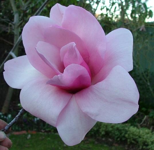 Magnolia Sweetheart
