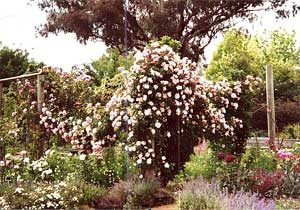 Old photo of Albertine on rose swags