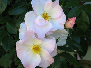 Shrub rose Sally Holmes
