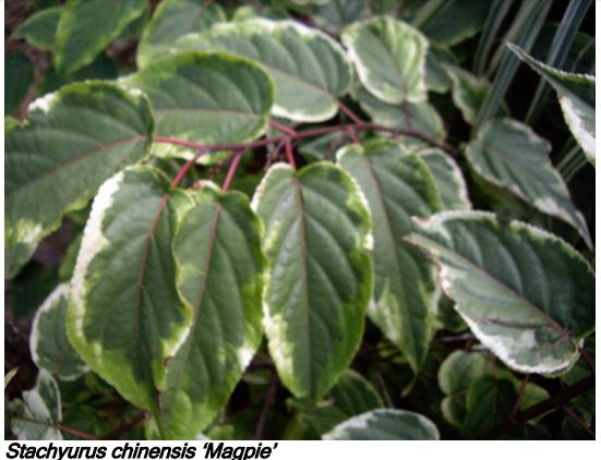 Stachyurus chinensis 'Magpie'