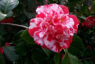 camellia_japonica_emperor_of_russia_variegated