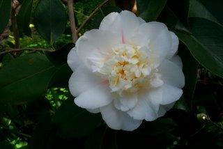 camellia_japonica_shiro_chan