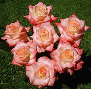 Large flowered or hybrid tea rose 'Diana Princess of Wales'