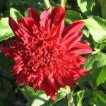seedling_anemone